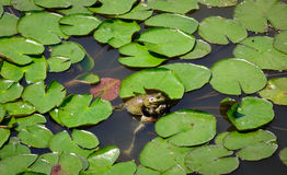 Żaby na stawie waterlily Obrazy Royalty Free