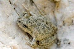 żaby nieletni drzewo Zdjęcie Royalty Free