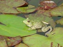 Żaby obsiadanie na liściu wodna leluja zdjęcia stock