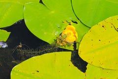 Żaby obsiadanie na wodnym kwiacie fotografia stock