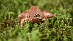 Żaby obsiadanie w przyczajeniu na zielonym mech itwiosny żaba (Rana dalmatina) zbiory