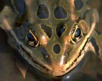 żaby oczy Fotografia Royalty Free