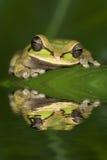 żaby odbicie Zdjęcia Royalty Free