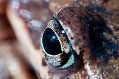 Żaby oko makro- Zdjęcie Stock