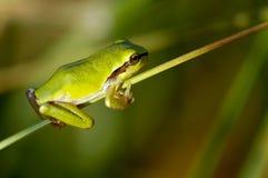 żaby pospolity drzewo Fotografia Royalty Free
