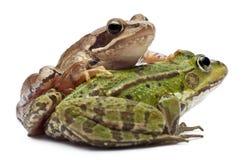 żaby pospolity jadalny europejski rana Fotografia Royalty Free