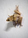 Żaby postura na białej ścianie Obraz Royalty Free