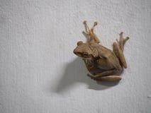 Żaby postura na białej ścianie Obrazy Stock