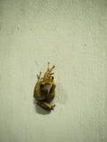Żaby postura na białej ścianie Zdjęcie Stock