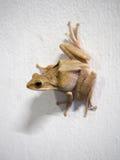 Żaby postura na białej ścianie Fotografia Stock