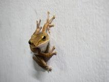 Żaby postura na białej ścianie Zdjęcia Royalty Free