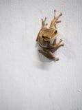 Żaby postura na białej ścianie Zdjęcia Stock