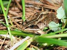 żaby rana sylvatica drewno Obrazy Royalty Free