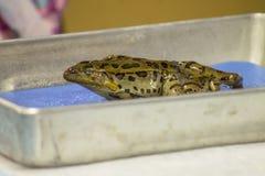 Żaby rozcięcie Fotografia Stock
