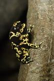 żaby seks Zdjęcie Royalty Free