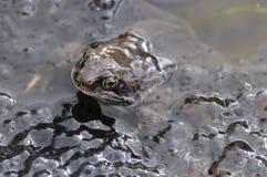 żaby stawu ikra Obrazy Royalty Free