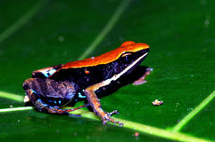 Żaby strzała Fotografia Stock