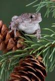 żaby szyszkowa sosna Zdjęcie Royalty Free