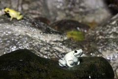 żaby tropikalny las deszczowy Fotografia Stock