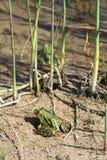Żaby w świetle słonecznym obok stawu, Szwecja Zdjęcia Royalty Free