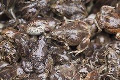 Żaby w stosie Obraz Stock