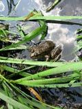 żaby woda Zdjęcia Stock