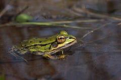 żaby wspólnej wody Obrazy Royalty Free