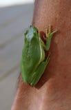 żaby zielone drzewa Zdjęcie Stock