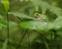 żaby zielone drzewa Obraz Stock