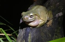 żaby zielone drzewa Zdjęcia Royalty Free