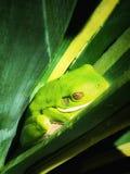 żaby zielone drzewa Obrazy Stock