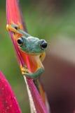 żaby zielone drzewa Zdjęcia Stock