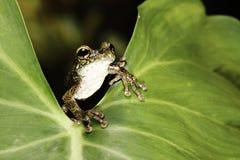 żaby zielony liść tropikalny las deszczowy drzewo tropikalny Fotografia Stock