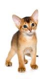 abyssinian γατάκι Στοκ φωτογραφίες με δικαίωμα ελεύθερης χρήσης