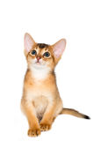 abyssinian γατάκι Στοκ φωτογραφία με δικαίωμα ελεύθερης χρήσης