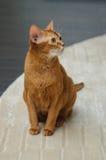 abyssinian κόκκινο γατών Στοκ Φωτογραφίες