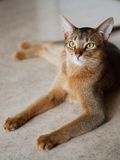 Abyssinian Royalty Free Stock Images