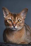 Κατακόκκινη γάτα Abyssinian Στοκ φωτογραφία με δικαίωμα ελεύθερης χρήσης