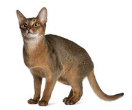 Abyssinian (9 months old) Royalty Free Stock Photo