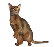 Abyssinian (9 months old) Royalty Free Stock Image