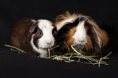 Abyssinian and American Guinea Pigs Cavia porcellus Royalty Free Stock Photography