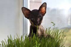 Abyssinian black cat with green eyes eats grass. The Abyssinian black cat with green eyes eats grass Royalty Free Stock Photography