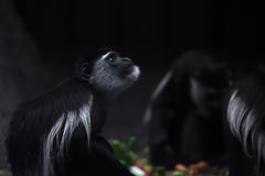 Abyssinian black and white colobus Royalty Free Stock Image