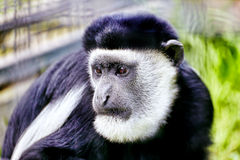 Abyssinian black and white colobus. Stock Photography