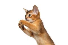 Abyssinian brincalhão Kitty Curious Standing no fundo branco isolado Imagens de Stock