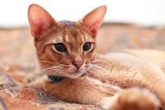 abyssinian brunt barn för kattkattungelampa Arkivfoton