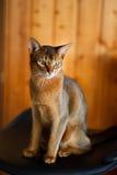 abyssinian brunt kattbarn Arkivfoton