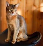 abyssinian brunt kattbarn fotografering för bildbyråer
