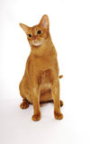 Abyssinian cat. Cute abyssinian cat sits on white background stock image