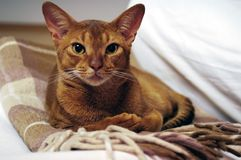 Abyssinian cat. Cute abyssinian cat lies on armchair royalty free stock images